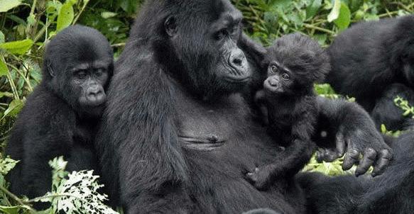 Who is Eligible to Trek Mountain Gorillas