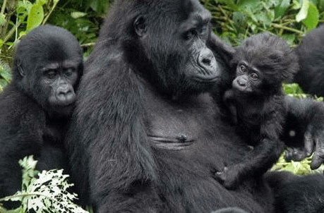 Who is Eligible to Trek Mountain Gorillas